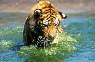 tiger-young-siberian-101110-02