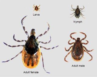 various stages of ticks