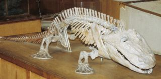 A skeleton of one of the earliest land creatures.