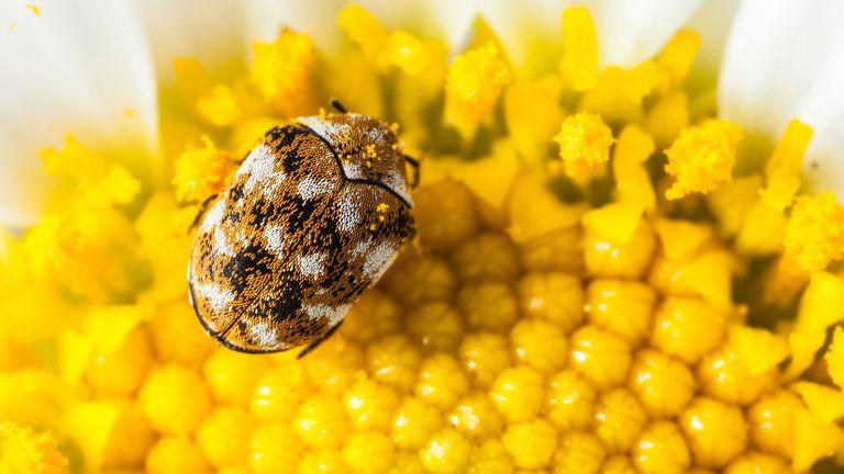 how to get rid of carpet beetles -