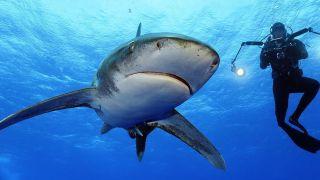 Sharkfest on Nat Geo Wild